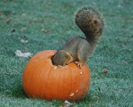 Squirrel in a pumpkin by Katherine Flickinger.