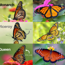 Monarch Identification Chart