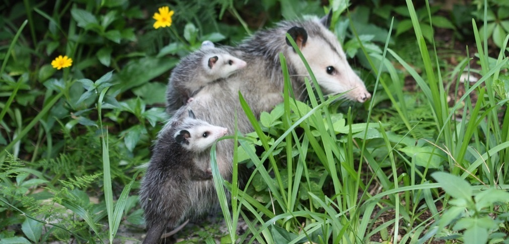 opossum and young