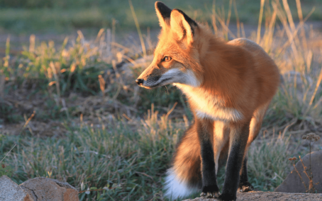 What to do When Foxes Move In • The National Wildlife