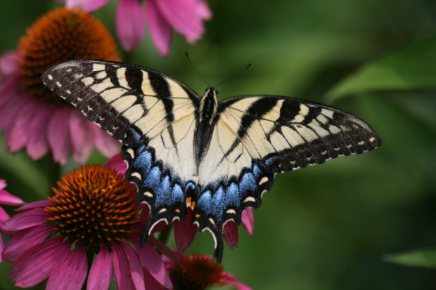 Tiger swallowtail on a purple coneflower.