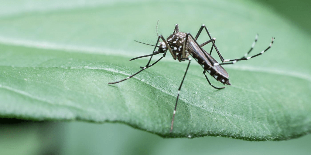 Mosquito on leaf.
