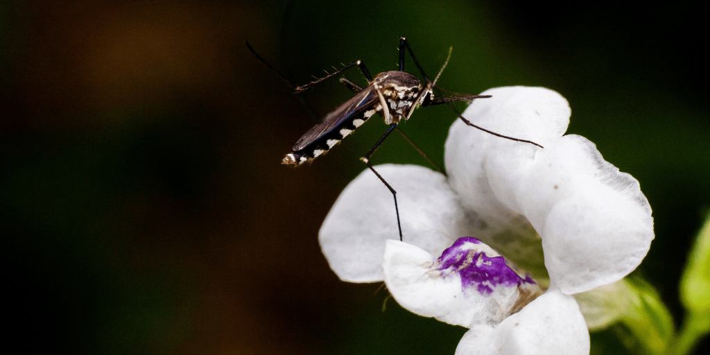 Mosquito on Flower