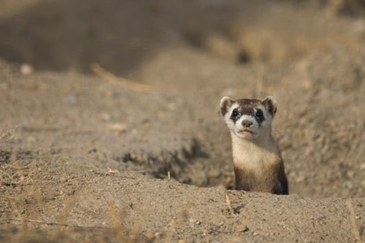 A black-footed ferret peeks its head our of a burrow