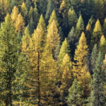 Western larch forest